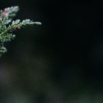 branch of an evergreen tree